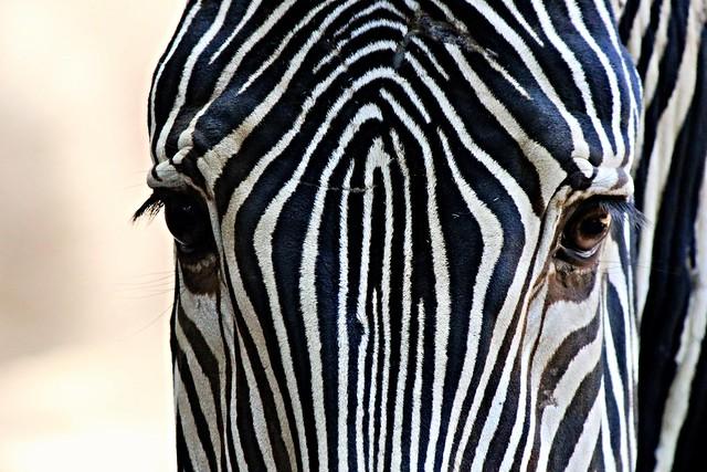 Grévy's zebra -