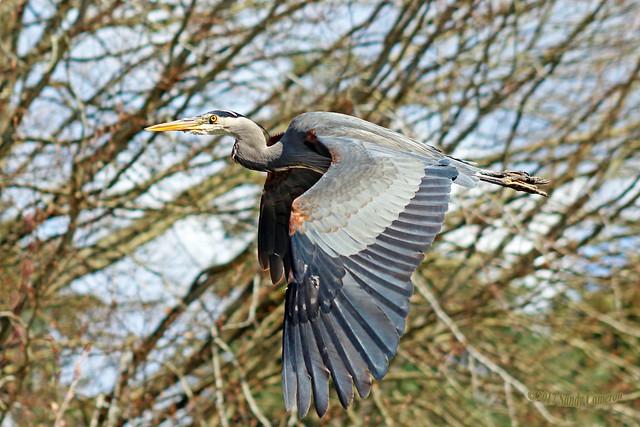 Great Blue Heron Flying (Explored) 17-0402-1936