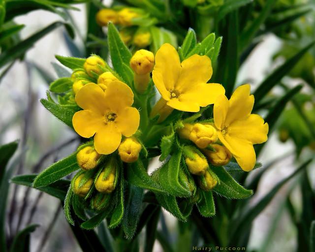 Hairy Puccoon - Lithospermum caroliniense  -    Boraginaceae: Borage family