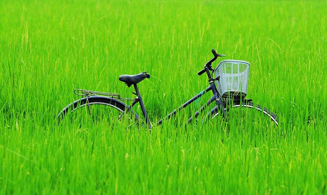 164578919_ Bicycle in the paddy rice field