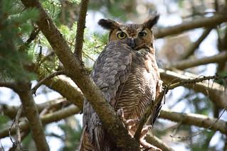 Wild Great Horned Owl