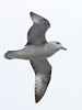 Southern Fulmar (Fulmarus glacialoides) by David Cook Wildlife Photography