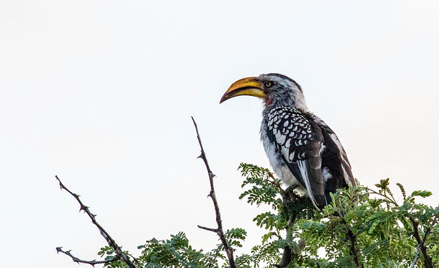 Eastern Yellow-billed Hornbill - Gulnæbbet toko (lockus flavirostris) in Pilanesberg, South Africa
