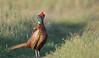Pheasant by Guido de Kleijn