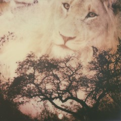 Africa Sunset + Lion + Instant Lab double exposure by roostercoupon