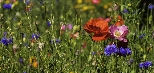flowers blue red summer colour green wildflowers rotherham southyorkshire