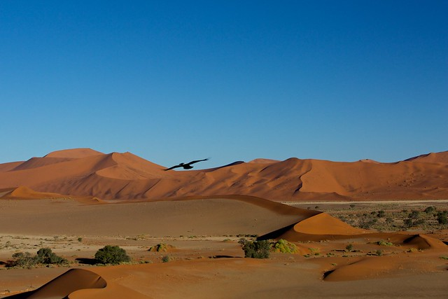 Pied crow over Sossusvlei