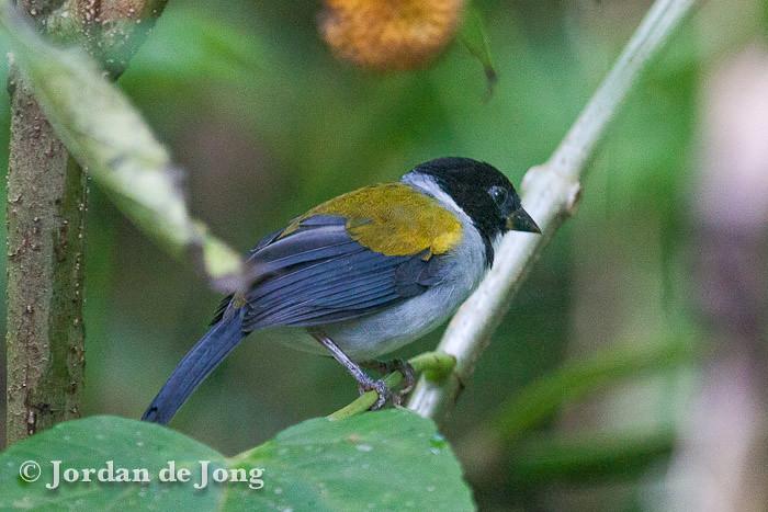 Golden-winged Sparrow, Arremon taciturnus.jpg