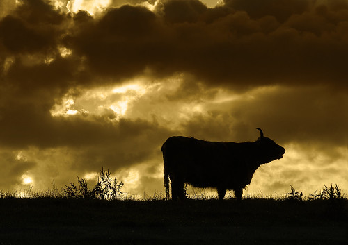 sunset sky silhouette backlight cow moody cattle cheshire cloudy hill horns bull beast backlit foolonthehill moodysky spilttone