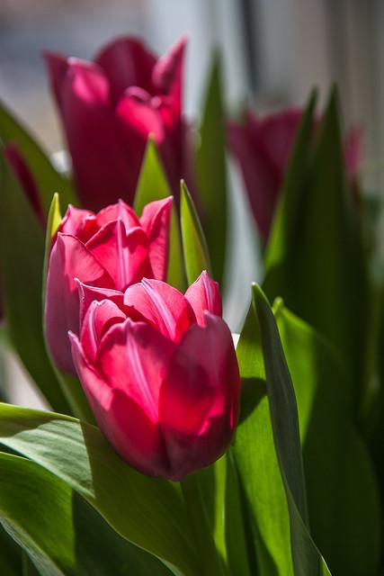 Tulip's time