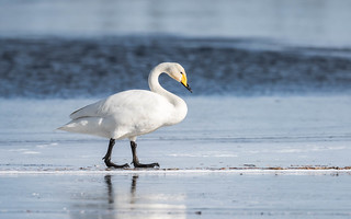 Whooper Swan (4 of 5) | by tickspics