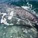 Flickr photo 'Grauwal mit Kalb / Gray whale (Eschrichtius robustus) - Whale Watching bei El Viszcaíno - Parque Natural de la Ballena Gris, Baja California, Mexico' by: anschieber | niadahoam.de.