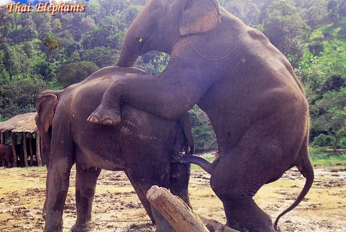 elephant-sex-with-girls