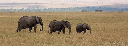 africa elephant kenya safari mara afrika elephants elefant kenia masai elefanten