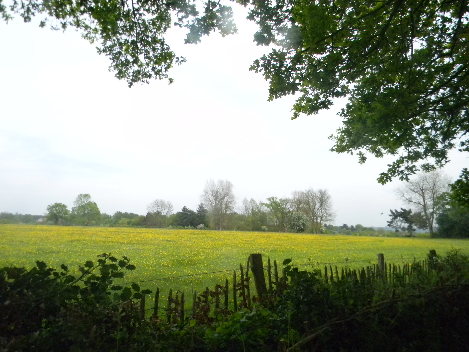 Buttercups with fence Manningtree Circular