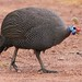 Helmeted Guineafowl - Photo (c) Derek Keats, some rights reserved (CC BY)