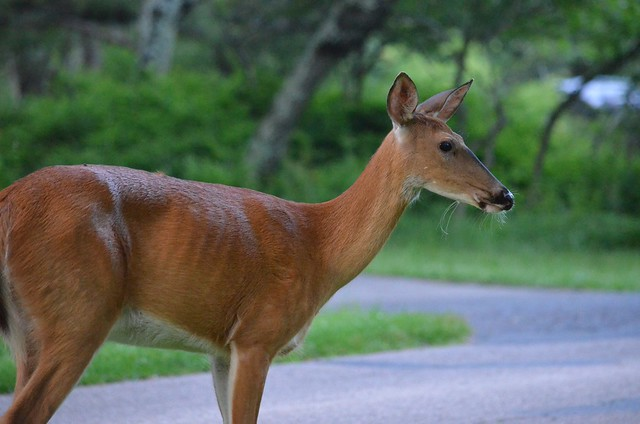 Deer, Skyline Drive