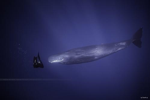 Sperm whale - Mauritius island.