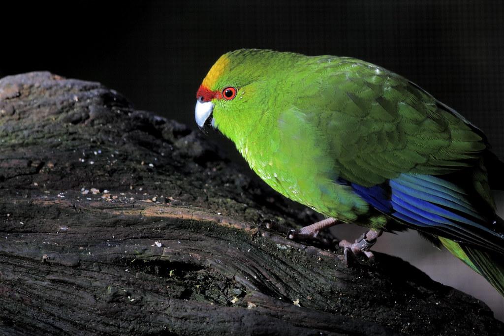 kakariki - yellow-crowned parakeet - Cyanoramphus auriceps… | Flickr