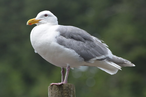 Glaucous-winged Gull | by Wildreturn