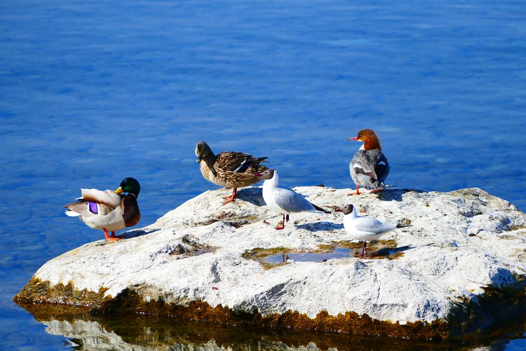 03.16.17.Oiseaux du Léman