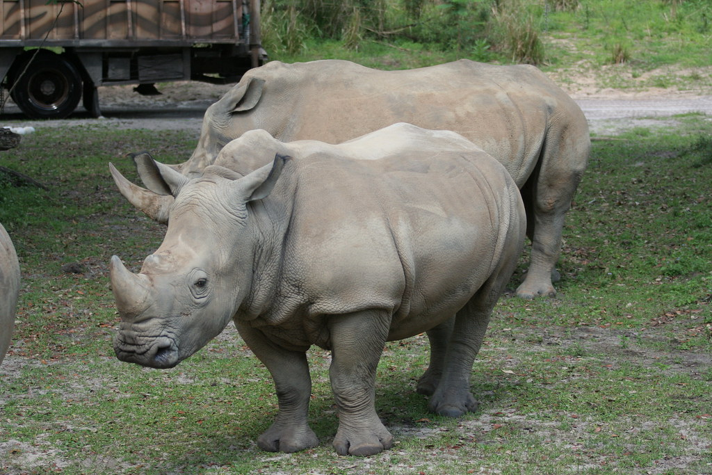 Baby Rhinoceros on Kilimanjaro Safari - Animal Kingdom - Walt Disney World