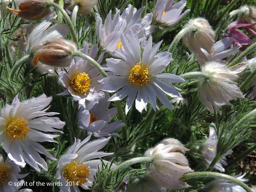 flowers manitopark duncangarden nikonflickraward spokanewashingtonstate