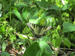 Tiger swallowtail, Papilio canadensis | by ke9tv