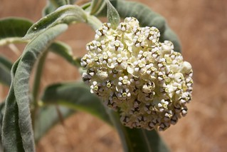 Asclepias eriocarpa-Indian Milkweed | by campsjc