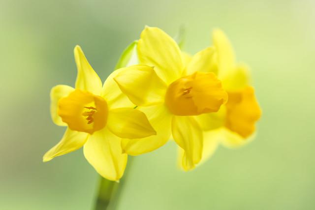 Narcissus Tête à Tête II