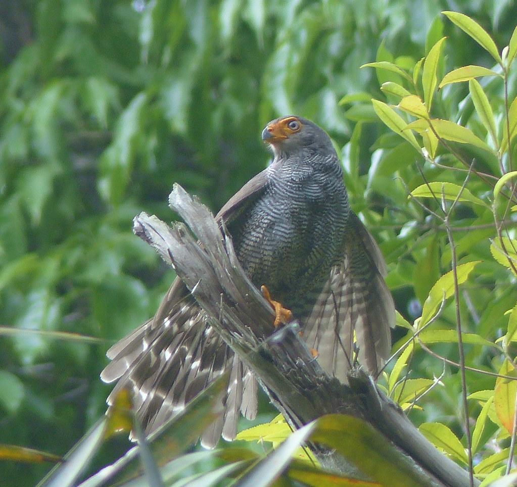 prob. Barred Forest Falcon