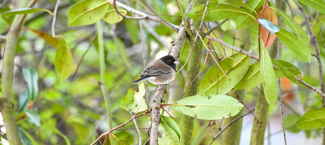 World Sparrow Day: Dark-eyed Junco