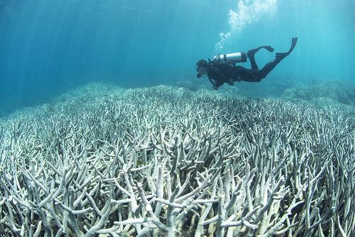 Coral bleaching at Heron Island Feb 2016_credit The Ocean Agency / XL Catlin Seaview Survey / Richard Vevers | by #StopAdani