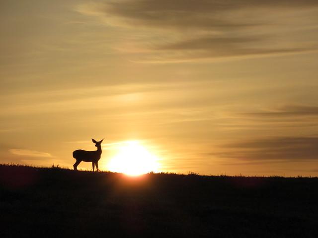 99/365: Deer at Dawn