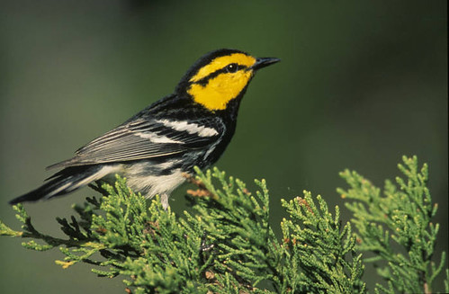 Golden cheeked warbler | by USFWS Headquarters
