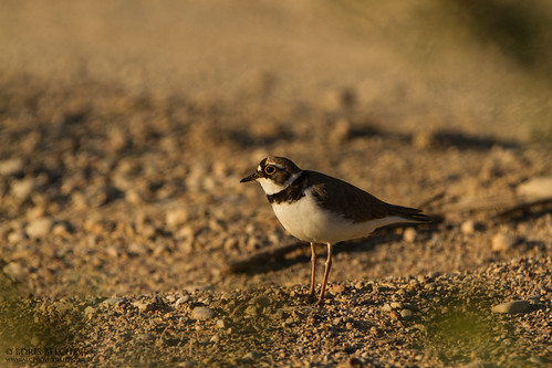 Little Ringed Plover (Charadrius dubius) | by _alcedo_