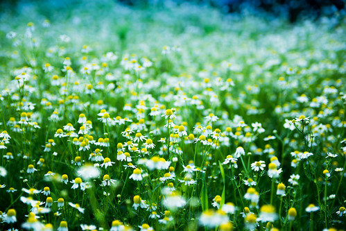 camomile field | by immjg77