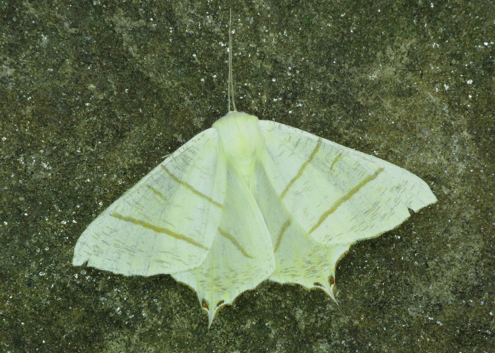 1922 Swallow-tailed Moth - Ourapteryx sambucaria