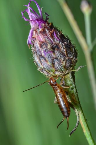 canada macro britishcolumbia insects northamerica hexapoda forficulaauricularia dermaptera commonearwig forficulidae europeanearwig okanagansimilkameen enderbymabellakeroad