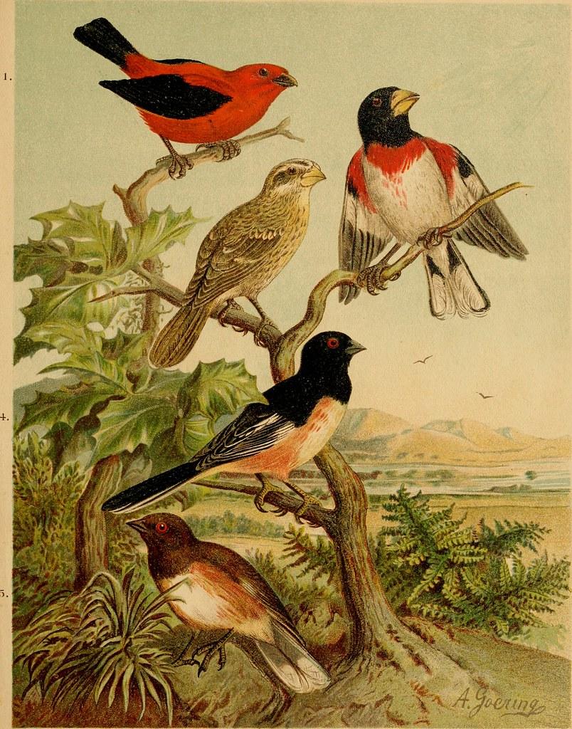 """Image from page 472 of """"Die Nordamerikanische Vogelwelt"""" (1891)"""