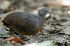 Crypturellus soui | Little Tinamou | Tinamú Chico by Ángel Avendaño