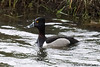 Ring-necked Duck (Aythya collaris) by youngwarrior