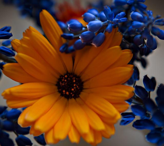 Blue & Orange - Macro Mondays - in explore