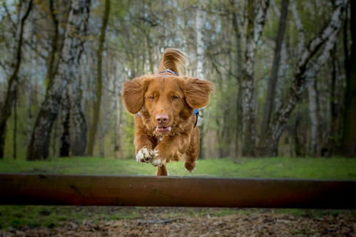 Flying toller.. | by Tom Ek