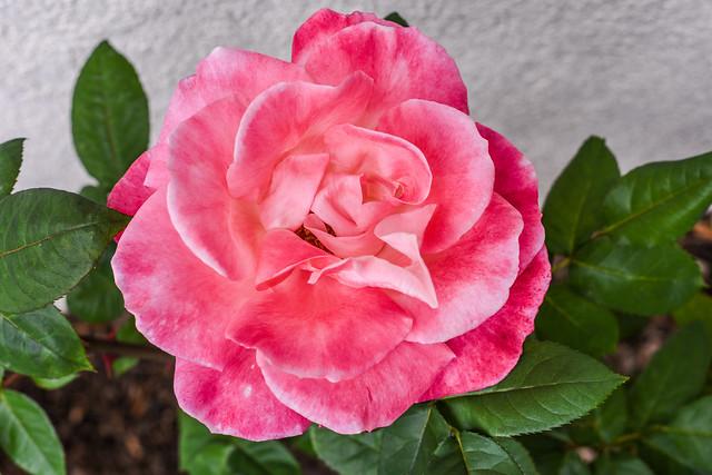 8 inch bloom