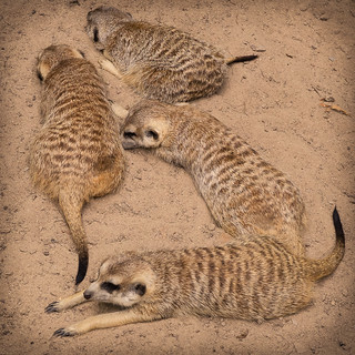 Happy Meerkut family - Riverbanks Zoo, Columbia, SC | by cpmishra123