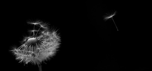Dandelion | by isit_ric