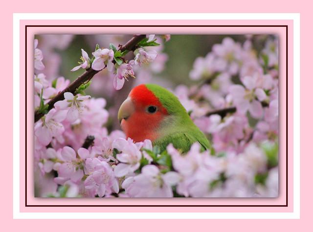 Lovebird Among Pink blossoms