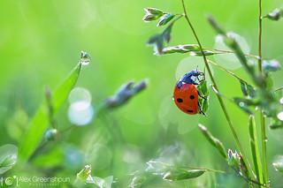 Ladybird | by alexgphoto