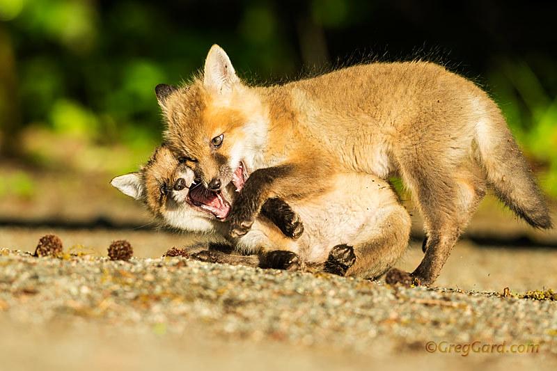 Playful Red Fox kits